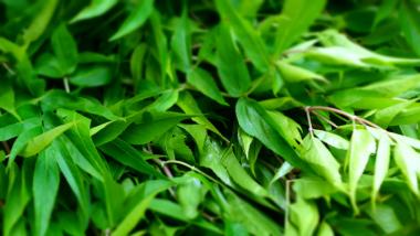 宮崎県産 ヒュウガトウキ茎葉